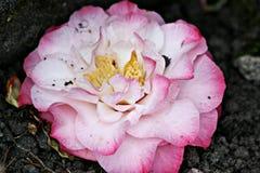 Αυξήθηκε ροζ Στοκ Εικόνες