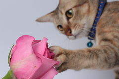 Αυξήθηκε ρόδινο λουλούδι αφής γατών Στοκ εικόνα με δικαίωμα ελεύθερης χρήσης