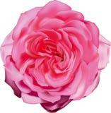 Αυξήθηκε στην άνθιση, εγκαταστάσεις κήπων, ένας όμορφος οφθαλμός ενός λουλουδιού, ζωντανή χλωρίδα, είναι πολλά πέταλα, απομακρυνθ ελεύθερη απεικόνιση δικαιώματος