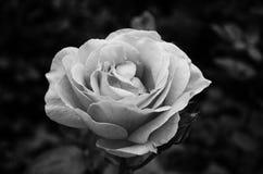 Αυξήθηκε στη φύση κήπων Στοκ Εικόνες