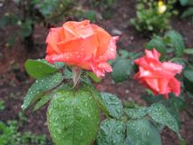 Αυξήθηκε στον κήπο μετά από τη βροχή στοκ φωτογραφία με δικαίωμα ελεύθερης χρήσης