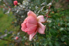 Αυξήθηκε στον κήπο μετά από τη βροχή Στοκ εικόνα με δικαίωμα ελεύθερης χρήσης