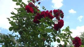 Αυξήθηκε σύνολο θάμνων λουλουδιών των ανθίσεων και του μπλε ουρανού με την κίνηση των σύννεφων 4K απόθεμα βίντεο