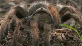 Αυξήθηκε τρίχα Tarantula που σέρνεται προς τη κάμερα φιλμ μικρού μήκους