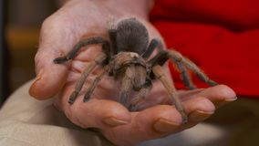 Αυξήθηκε τρίχα Tarantula υπό εξέταση απόθεμα βίντεο