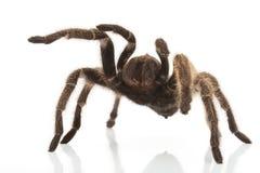 Αυξήθηκε τρίχα Tarantula Στοκ Φωτογραφίες