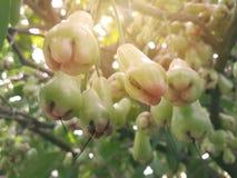 Αυξήθηκε φρούτα μήλων που αυξάνονται στοκ εικόνα