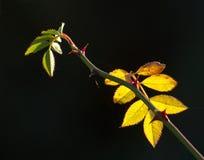 Αυξήθηκε φύλλα αναδρομικά φωτισμένα Στοκ Εικόνα