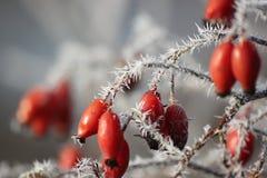 αυξήθηκε χειμώνας Στοκ φωτογραφία με δικαίωμα ελεύθερης χρήσης