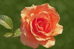 Αυξήθηκε χλωμό χρώμα πορτοκαλιών ή ροδάκινων που απομονώθηκε ως κάρτα Στοκ Φωτογραφίες