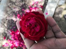Αυξήθηκε beauti φύσης λουλουδιών στοκ εικόνα με δικαίωμα ελεύθερης χρήσης