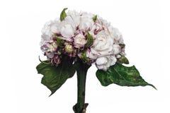 Αυξήθηκε Clerodendrum, ένα σπάνιο λουλούδι στην Ταϊλάνδη. Στοκ φωτογραφία με δικαίωμα ελεύθερης χρήσης