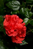 Αυξήθηκε Hibiscus στενός επάνω Rosa-sinensis να περιβάλει φύλλων Στοκ Φωτογραφία