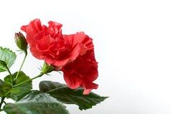 Αυξήθηκε Hibiscus στενός επάνω Rosa-sinensis που απομονώθηκε Στοκ Φωτογραφίες
