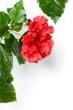 Αυξήθηκε Hibiscus στενός επάνω Rosa-sinensis που απομονώθηκε Στοκ φωτογραφία με δικαίωμα ελεύθερης χρήσης