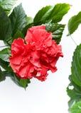 Αυξήθηκε Hibiscus στενός επάνω Rosa-sinensis που απομονώθηκε Στοκ Φωτογραφία