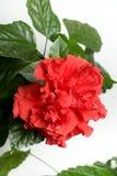 Αυξήθηκε Hibiscus στενός επάνω Rosa-sinensis που απομονώθηκε Στοκ Εικόνα