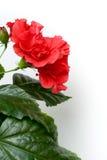 Αυξήθηκε Hibiscus στενός επάνω Rosa-sinensis που απομονώθηκε Στοκ εικόνα με δικαίωμα ελεύθερης χρήσης