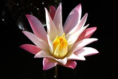 Αυξήθηκε Lotus χρώματος Στοκ εικόνα με δικαίωμα ελεύθερης χρήσης