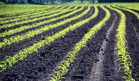 Αυξήσεις χειμερινών σίτων του εύφορου χώματος στο θερμό πρωί φθινοπώρου Στοκ φωτογραφία με δικαίωμα ελεύθερης χρήσης