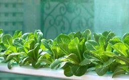 Αυξανόμενα λαχανικά, φυτικό, οργανικό λαχανικό εγκαταστάσεων Στοκ εικόνες με δικαίωμα ελεύθερης χρήσης