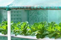 Αυξανόμενα λαχανικά, φυτικό, οργανικό λαχανικό εγκαταστάσεων Στοκ φωτογραφίες με δικαίωμα ελεύθερης χρήσης