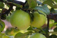 Αυξανόμενα βιο φρούτα Στοκ Φωτογραφία