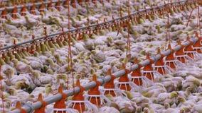 Αυξανόμενα κοτόπουλα σχαρών απόθεμα βίντεο