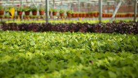 Αυξανόμενα πράσινα στα θερμοκήπια απόθεμα βίντεο