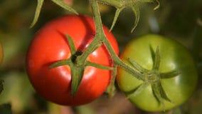 Αυξανόμενες κόκκινες και πράσινες ντομάτες απόθεμα βίντεο