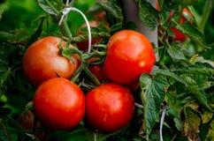 Αυξανόμενες οργανικές ντομάτες Στοκ φωτογραφία με δικαίωμα ελεύθερης χρήσης