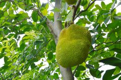 Αυξανόμενη ένωση φρούτων του Jack από τον κλάδο στο δέντρο στο αγρόκτημα Στοκ Εικόνες