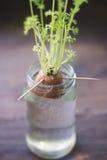 Αυξανόμενη βλάστηση εγκαταστάσεων μέσα σε ένα βάζο στοκ εικόνες