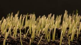 Αυξανόμενη γεωργία Timelapse σπόρων σίτου απόθεμα βίντεο