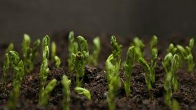 Αυξανόμενη γεωργία Timelapse σπόρων φασολιών μπιζελιών φιλμ μικρού μήκους