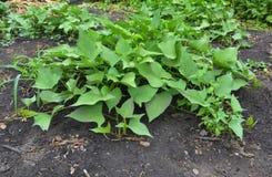 Αυξανόμενη οργανική γλυκιά πατάτα Η γλυκιά πατάτα ή το kumara & x28 Ipomoea batatas& x29  στοκ φωτογραφία