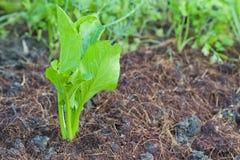 Αυξανόμενος τα λαχανικά οργανικά Στοκ Εικόνες