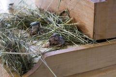 Αυξανόμενος τα μανιτάρια στρειδιών στο σπίτι στο ξύλινο κιβώτιο Στοκ Φωτογραφίες