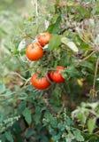 Αυξανόμενος τις ντομάτες στον κήπο, κλείστε επάνω Στοκ Φωτογραφία