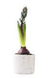 Αυξανόμενος το πορφυρό λουλούδι υάκινθων στο δοχείο που απομονώνεται στο άσπρο υπόβαθρο Στοκ Φωτογραφία