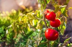 αυξανόμενο κόκκινο ντοματών με πράσινο Στοκ Φωτογραφία