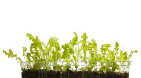 Αυξανόμενο μαρούλι φύλλων Στοκ εικόνα με δικαίωμα ελεύθερης χρήσης