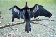 Αυξημένα Anhinga φτερά στον κλάδο Στοκ φωτογραφίες με δικαίωμα ελεύθερης χρήσης