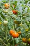 Αυξημένες θερμοκήπιο ντομάτες Στοκ Φωτογραφία
