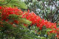 Αυξημένο σύνολο κόκκινο χρωματισμένο δέντρο σε έναν δρόμο στο σταθμό λόφων, Σάλεμ, Yercaud, tamilnadu, Ινδία, στις 29 Απριλίου 20 Στοκ Εικόνες