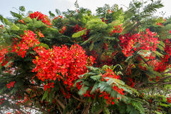 Αυξημένο σύνολο κόκκινο χρωματισμένο δέντρο σε έναν δρόμο στο σταθμό λόφων, Σάλεμ, Yercaud, tamilnadu, Ινδία, στις 29 Απριλίου 20 Στοκ Φωτογραφία