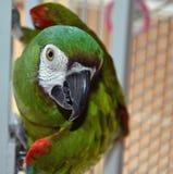 Αυστηρό Macaw στοκ εικόνα με δικαίωμα ελεύθερης χρήσης