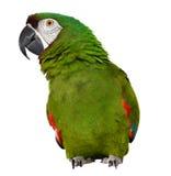 Αυστηρό Macaw Στοκ Φωτογραφίες