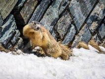 Αυστρία - παιχνίδι μαρμοτών στο χιόνι στοκ φωτογραφίες