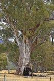 Αυστραλία, Νότια Αυστραλία, φύση, δέντρα Στοκ Εικόνες